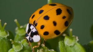 asian-lady-beetle[1]